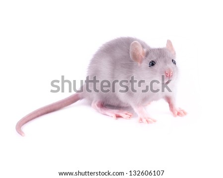 Baby rat (1 month old) - stock photo