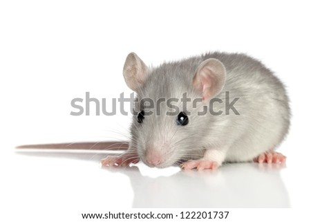 Baby rat on a white background (macro) - stock photo