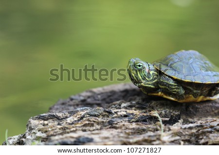 Baby Red Eared Slider Turtle - this little guy appears a bit shy but seems ready to come out of his shell and check it all out. - stock photo