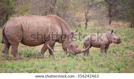 baby rhino in Kruger National Park. - stock photo