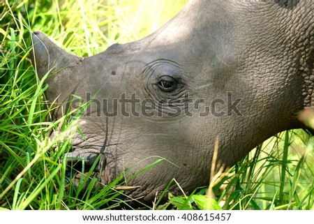 Baby Rhino, Kruger National Park, South Africa. - stock photo