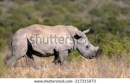 Baby rhino portrait. - stock photo