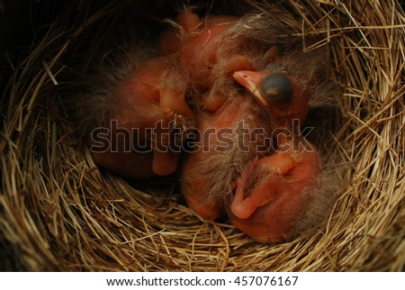 baby robin hatchlings in their next - stock photo
