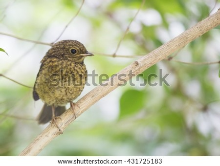 Baby Robin Red Breast (Erithacus rubecula) - stock photo
