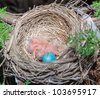 Baby Robin's, less than a day old. One is still hatching. - stock photo