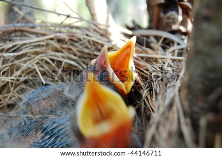 Baby robins - stock photo