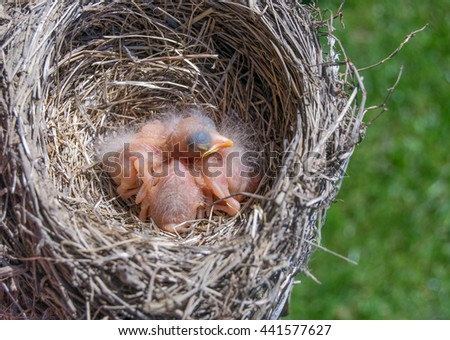 Baby robins chicks-Spring - stock photo