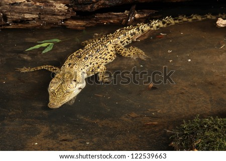 Baby salt water crocodile - stock photo