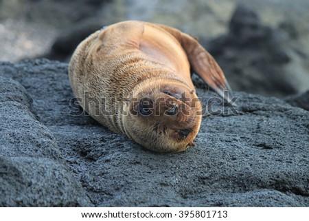 Baby sea lion, Galapagos Islands - stock photo