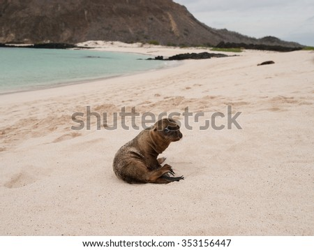 Baby sea lion sitting up on a sandy beach in the Galapagos Islands, Ecuador. - stock photo