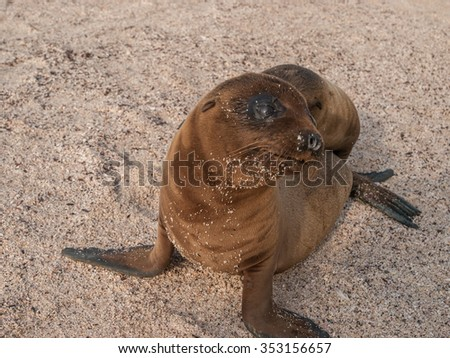 Baby sea lion with black eyes wide open sitting up and staring up on a sandy beach in the Galapagos Islands, Ecuador. - stock photo