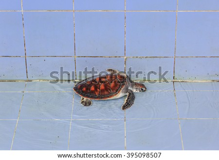 baby sea turtle in the pool - stock photo