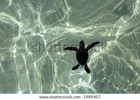 Baby sea turtle swims with water reflections underneath. - stock photo