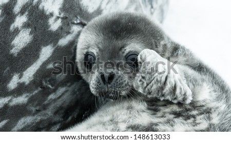 baby seal in Antarctica. close up portrait - stock photo