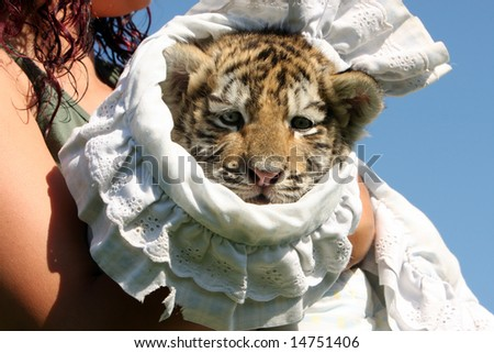 Baby Siberian Tiger Cub in a blanket being held by a young woman. - stock photo
