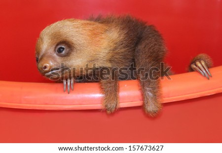 Baby sloth in an animal sanctuary, Costa Rica Hoffmann's two-toed sloth (Choloepus hoffmanni) Baby sloth is waiting for a medical help before going into wild.   - stock photo