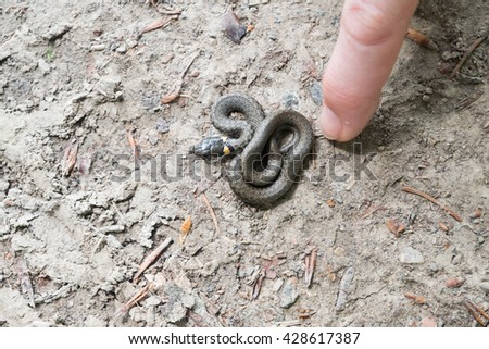 Baby Snake curled up on a gray road / Child Grass / Grass snake (Natrix Natrix). - stock photo