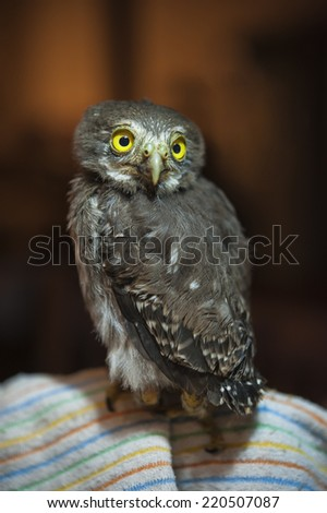 Baby spectacled owl sits on a blanket - stock photo