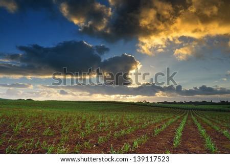Baby sugarcane farmland at sunset time, Mauritius - stock photo