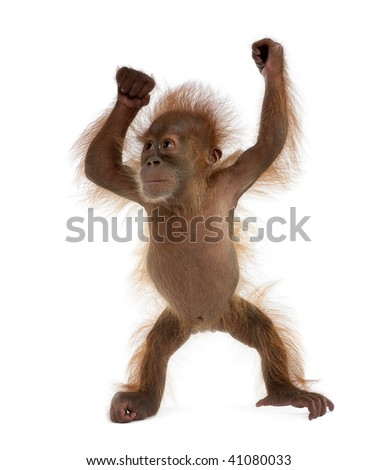 Baby Sumatran Orangutan, 4 months old, standing in front of white background - stock photo