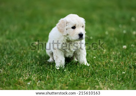 Baby swiss shepherd sitting on green carpet - stock photo