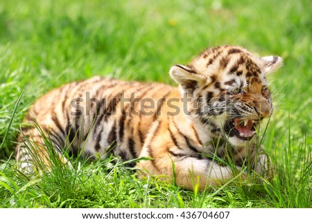 Baby tiger lying on grass - stock photo