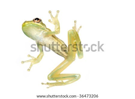 Baby tree frog from underneath isolated on a white background in studio - stock photo