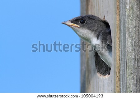 Baby Tree Swallow (tachycineta bicolor) in a bird house begging for food - stock photo