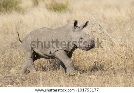 Baby White Rhino, (Ceratotherium simum) in South Africa's Kruger Park - stock photo