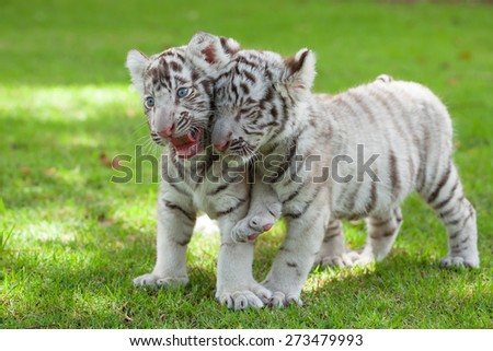 Baby white tigers and two children were teasing each other on the lawn. - stock photo