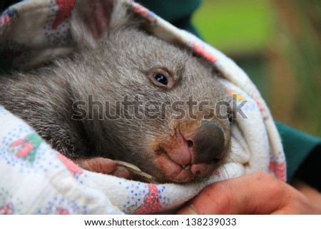 Baby wombat in the arms of a carer (close-up) - stock photo