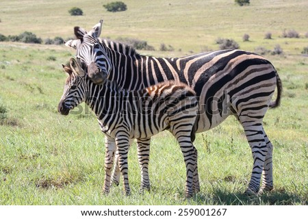 Baby zebra with it's mother showing love and affection - stock photo