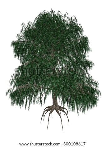 Babylon or weeping willow, salix babylonica tree isolated in white background - 3D render - stock photo