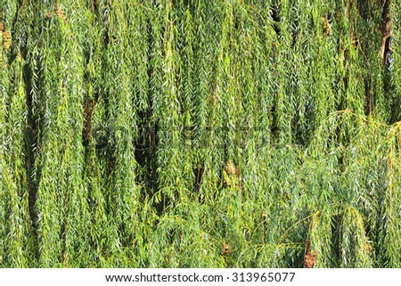 Babylonica or Weeping willow Salix for background. - stock photo