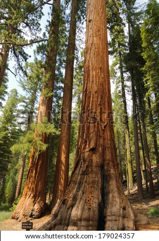 Bachelor and the Three Graces a stand of famous and protected Sequoia Gigantica (Redw0od) trees in Mariposa Grove, Yosemite National Park, California, USA - stock photo