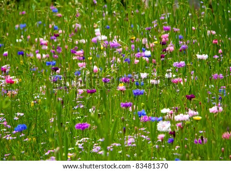 Bachelor button (Corn Flower) flower field as a background... - stock photo