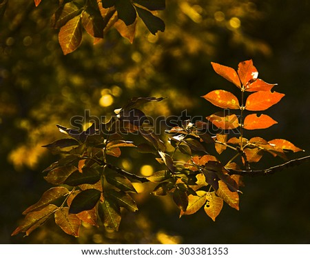 Back light  of red leaves of elm-leaved sumach on autumn - stock photo