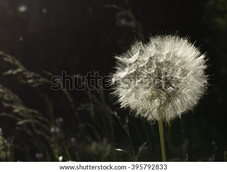 Back lit dandelion with seeds coming loose, grass waving in the breeze in the background - stock photo