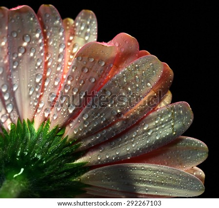 Back of a pink Gerber Daisy - stock photo