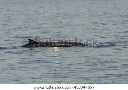 Back of Bruda Whale in gulf of Thailand - stock photo