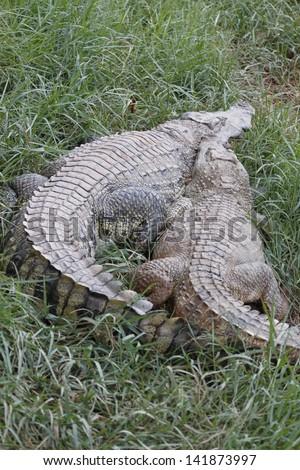 Back of large freshwater crocodile. - stock photo