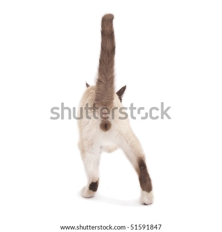 back picture of a male siamese cat standing on white - stock photo