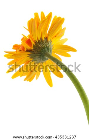 back single gerbera  flower yellow isolated on white background - stock photo