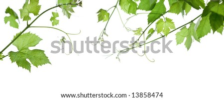 backdrop of grape or vine leaves isolated on white background. - stock photo