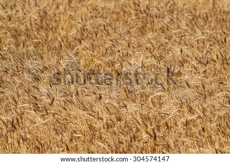 backdrop of ripening ears of yellow wheat field - stock photo