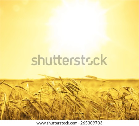 backdrop of ripening ears of yellow wheat field on the sunset cloudy orange sky background Copy space of the setting sun rays on horizon in rural meadow Close up nature photo Idea of a rich harvest - stock photo