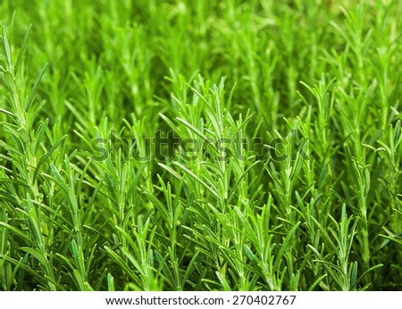 Background and sprig of  fresh rosemary - stock photo