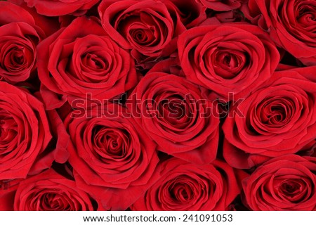 Background blossoms of red roses on Valentine's or mothers day - stock photo