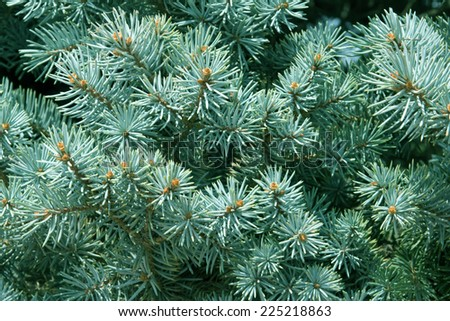 background blue spruce - stock photo