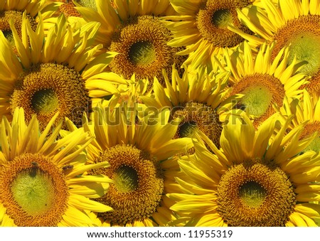 Background - decorative collage from beautiful sunflowers - stock photo